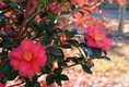 camellias 12-7-15.jpg