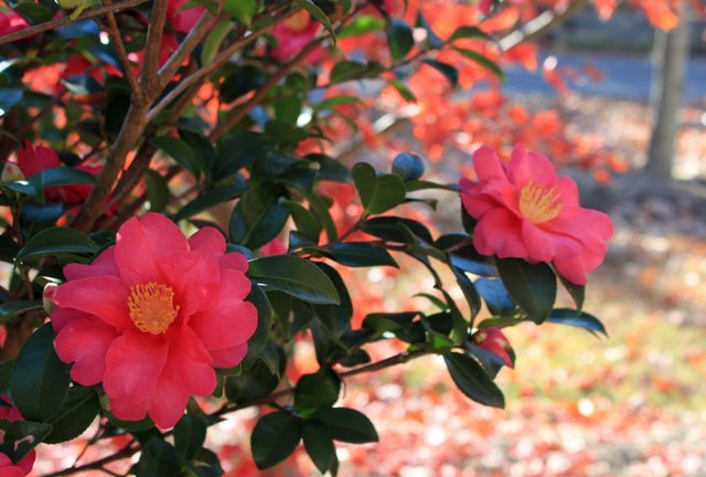 camellias 12-7-15.jpg