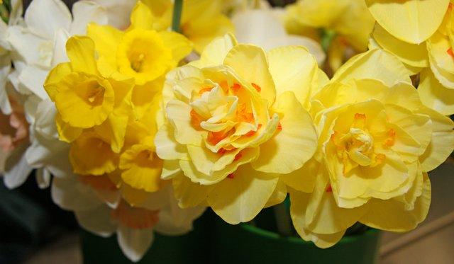 daffodil-cluster-1.jpg