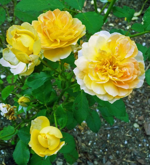 molinex fragrant rose.jpg