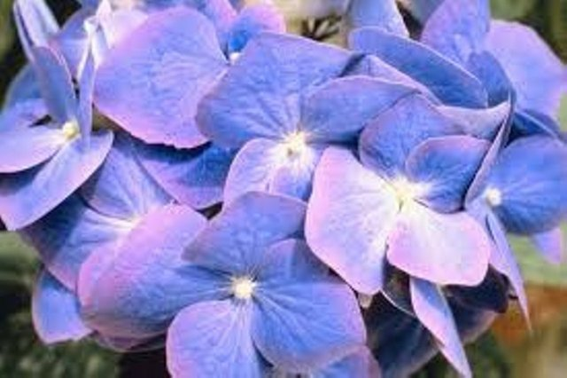 2017 Mid-South Hydrangea Society Conference