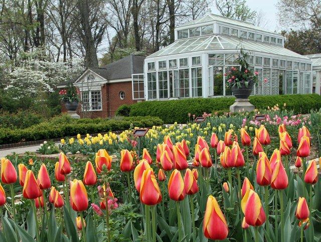 dixon tulips.jpg