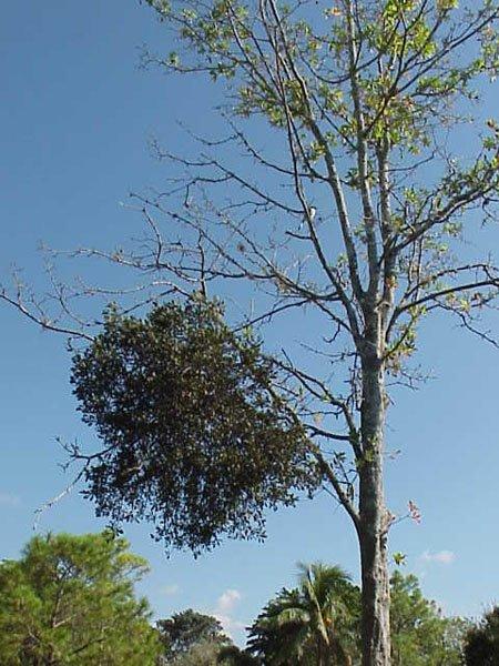 mistletoe in oak.jpg