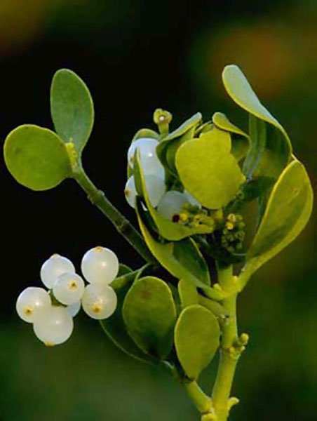 mistletoe close up.jpg