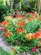 butterfly weed in barbara rea's garden.jpg