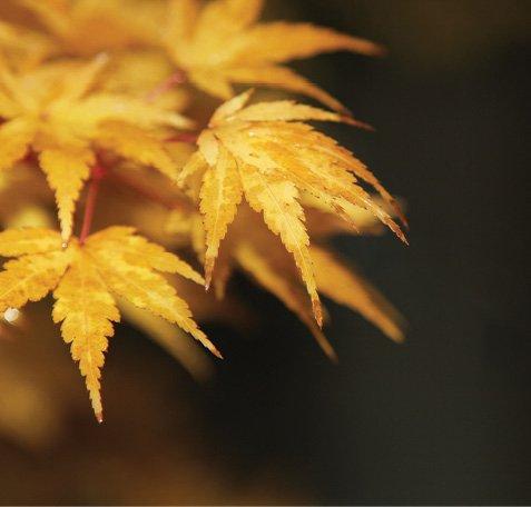dreamstime_xxl_46781683_Acer_palmatum-Coral_Bark_Japenese_Maple.jpg