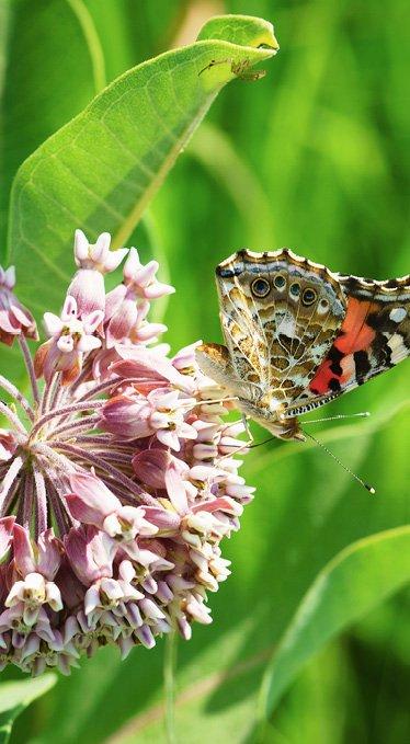 dreamstime_xxl_95530915_asclepias_syriaca-butterfly.jpg