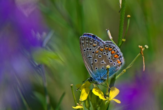 Butterfly - Eastern Tailed Blue