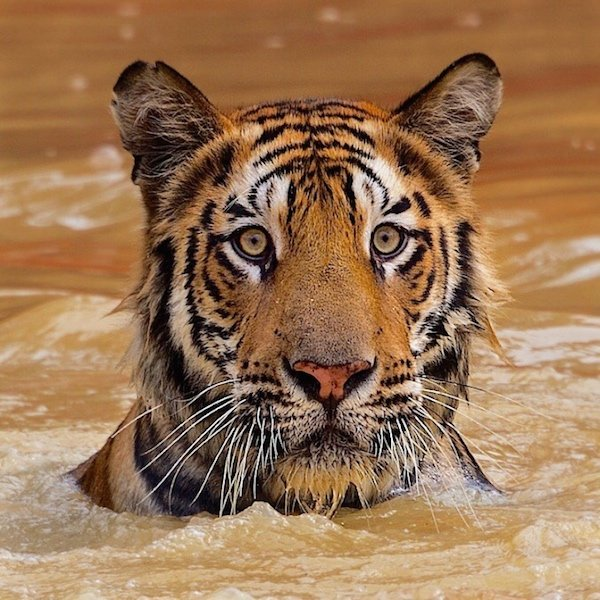 National Geographic Live: On the Trail of Big Cats, GPAC