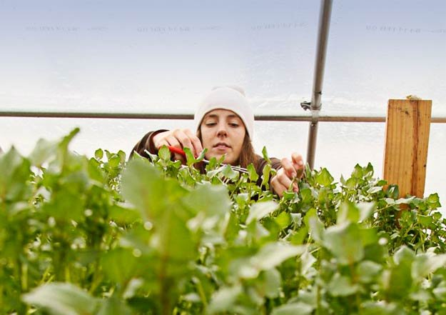 Mary Phillips tends a lush stand of watercress at Urban Farms in the 