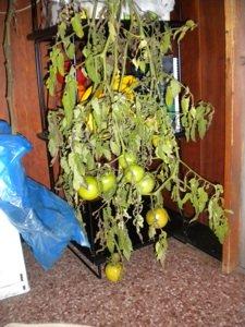 tomatoes vinesm.jpg