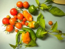tomatoes ripesm.jpg