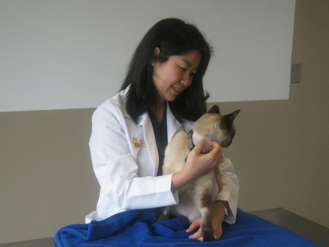 Dr. Ai Takeuchi pets Opie, a cat that recently underwent a successful kidney transplant.
