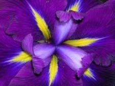 irissmallsm.jpg