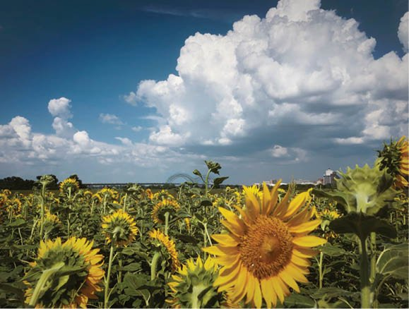 ITB-Sunflower_skyline.jpg