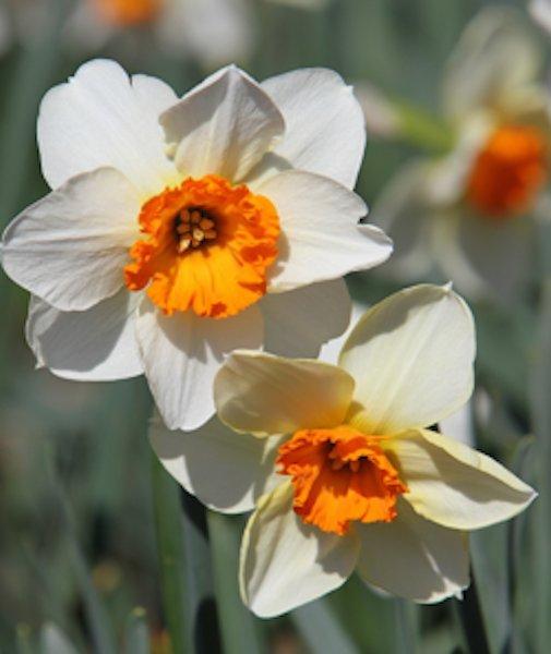 Daffodil Bulb Sale, Dixon Gallery & Gardens