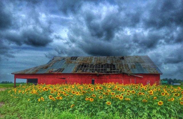 Sunflowers on a Rainy Day 01 copy.jpg