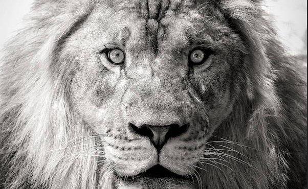 LionTeaser.png