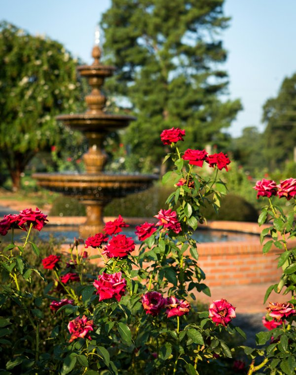 One of the oldest areas of the Memphis Botanic Garden, the Rose Garden, which was once located in Overton Park, boasts 75 species of roses.