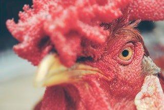 rooster_Photo by Jairo Alzate on Unsplash.jpg