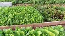 Dodson lettuce.jpg