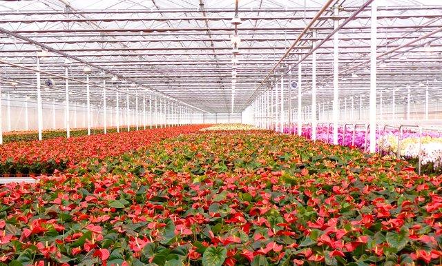 Aalsmeer Flower Auction has 243 acres of flowers