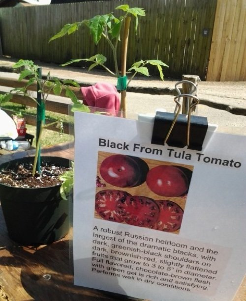 Vegetable plants, such as the tomatoes above grown by Jan Dickey, pictured below, join shrubs and ornamentals at the Memphis Botanic Garden's annual spring plant sale.