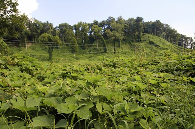 "Kudzu Kingdom"" in Mississippi, 2006"