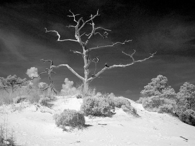 "Ghost tree on Horn Island, Mississippi. ""I photographed this same tree for years, hoping to catch a good image. In 2004, I was experimenting with infrared photography, and I finally got something that approximated how it made me feel."""